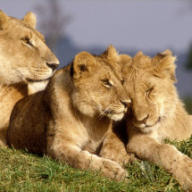 Lioness and two cubs on a termite mound