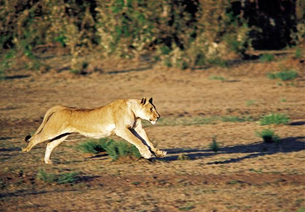 Lioness pursuing prey