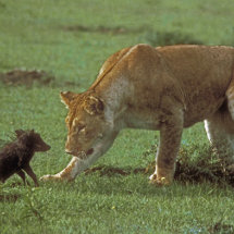 Lioness with baby warthog