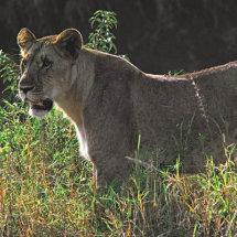 Lioness with rim lighting