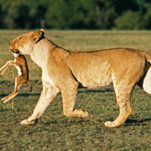 Lioness with young Thomsons Gazelle