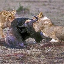 Lionesses killing Wildebeest