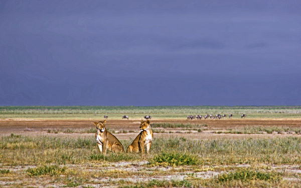 Lionesses on the plains of Amboseli