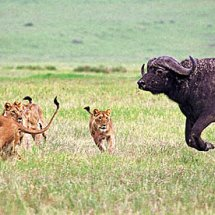 Lions hunting bufallo