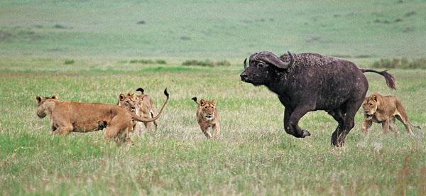 Lions hunting buffalo: David Keith Jones FRPS EFIAP DPAGB