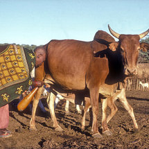 Maasai woman milking cow