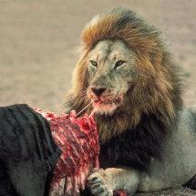 Male lion feeding on wildebeest