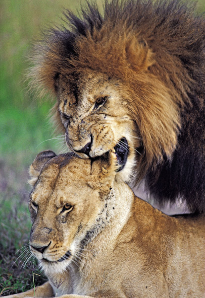Male lion giving love bite to lioness