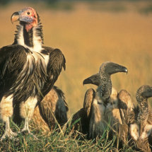 Lappet Faced Vulture with White Backed Vultures