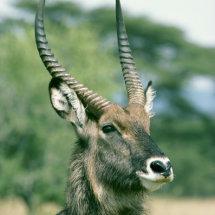 Portrait of Defassa Waterbuck