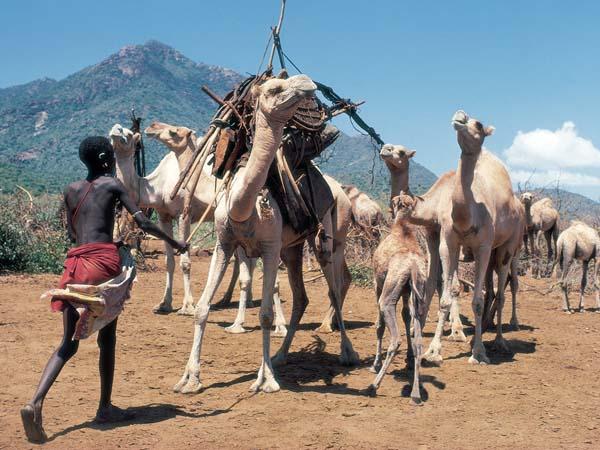 Rendille boy loading camels