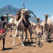 Rendille boy loading camels