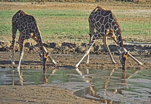 Reticulated Giraffe drinking
