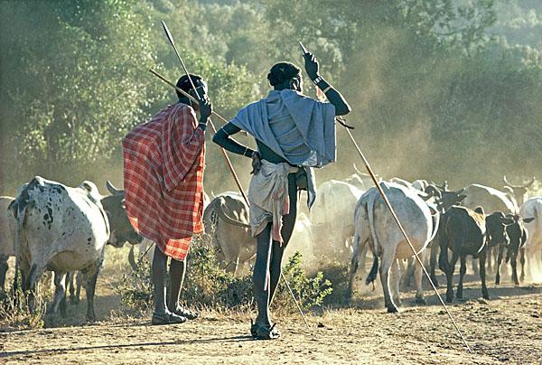 Samburu men and cattle