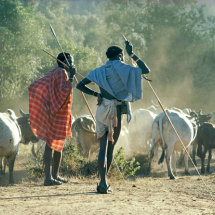 Samburu men and cattle