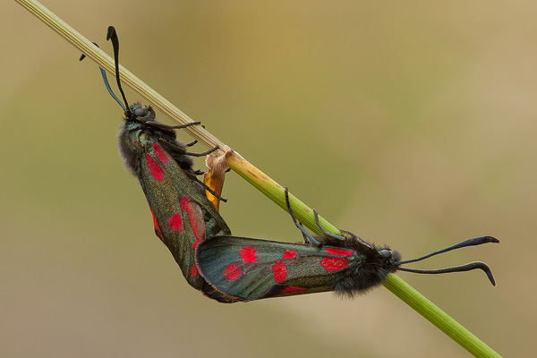 Six-Spot Burnet Mating © Darron Matthews ARPS EFIAP DPAGB BPE2*