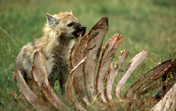 Spotted Hyaena eating Buffalo rib cage