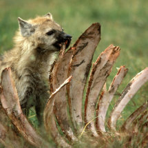 Spotted Hyaena eating Buffalo rib cage