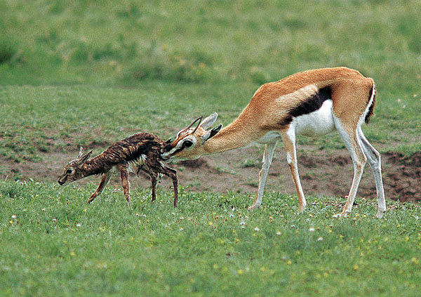 Thomsons Gazelle cleans baby
