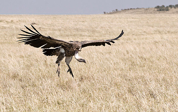 Vulture alighting