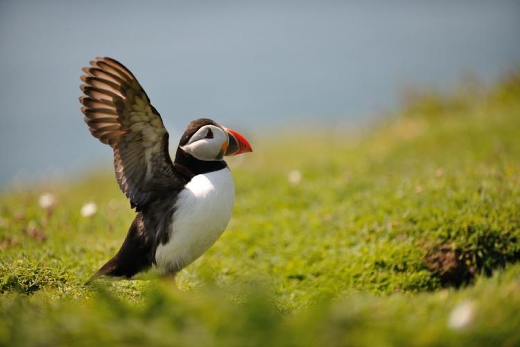 Puffin, Fratercula arctica Skomer Island Pembrokeshire