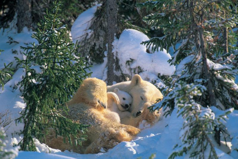 Polar bear <br><em>(Ursus maritimus)