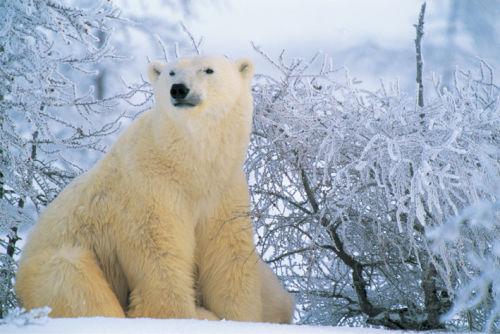 Polar Bear <Br>(Ursus maritimus)