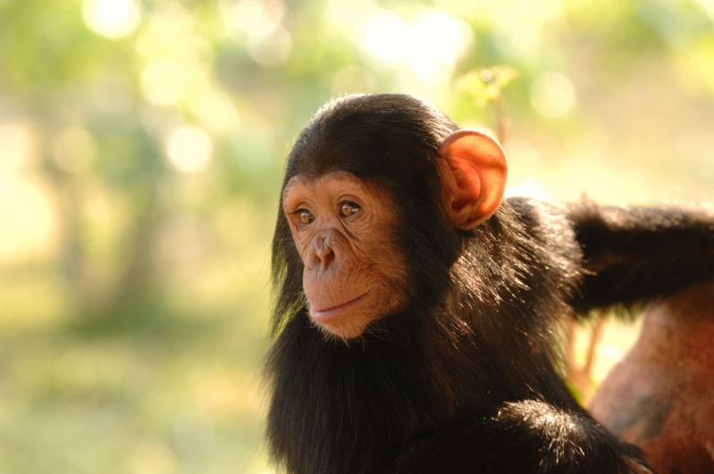 Chimpanzee <br><em>(Pan troglodytes)