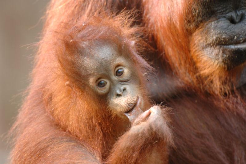 Orangutan<br><em>(Pongo pygmaeus)