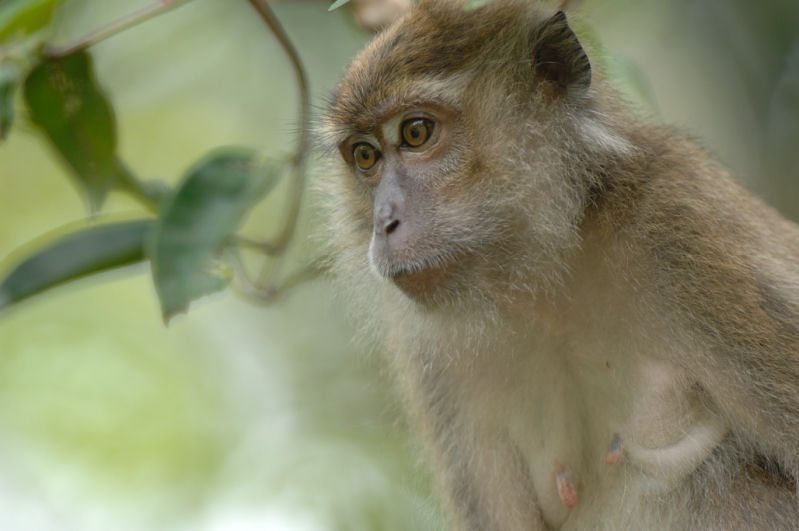 Long-tailed macaque <br><em>(macaca fascicularis)