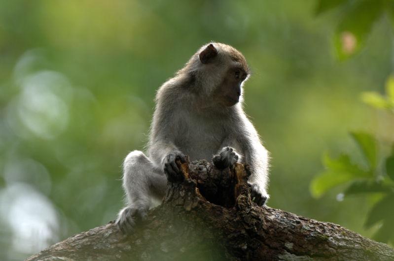Long-tailed macaque <br><em>(macaca fascicularis)