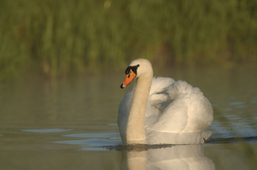 Mute swan<br><em>(Cygnus olor)