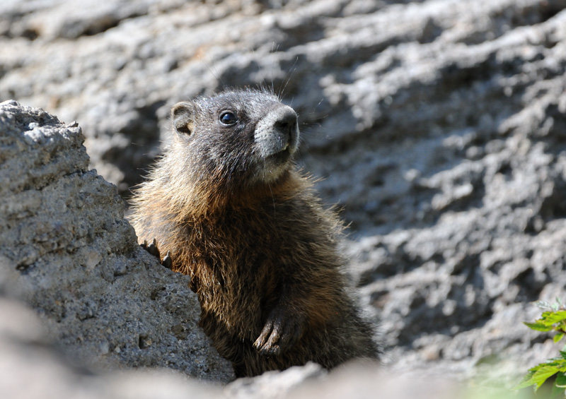 Yellow-bellied marmot, Marmota flaviventri