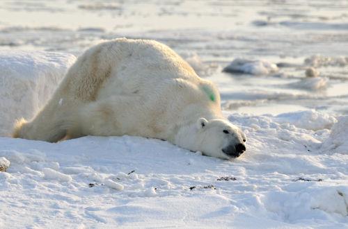 Polar bear <br>Ursus maritimus