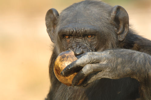 Chimpanzee <br>(Pan troglodytes)