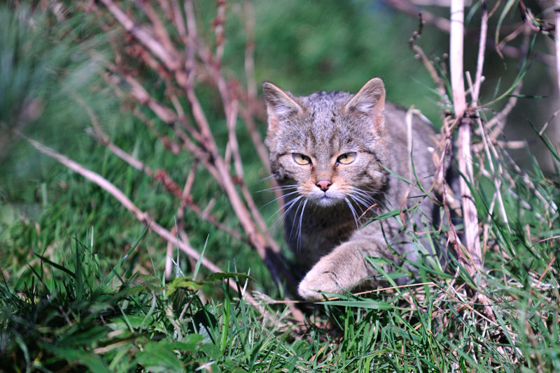 Scottish wildcat (Felis silvestris grampia)