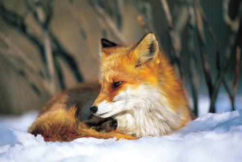 Northern fox [c] (Vulpes vulpes)