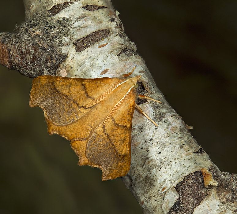 August Thorn