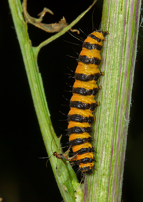 Cinnabar caterpillar with parasitic wasp