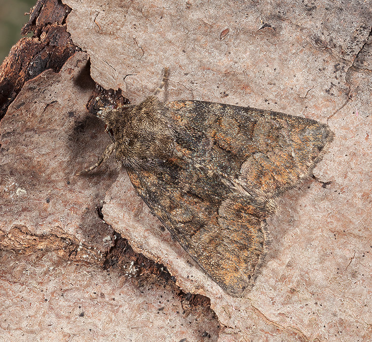 Tawny Marbled Minor