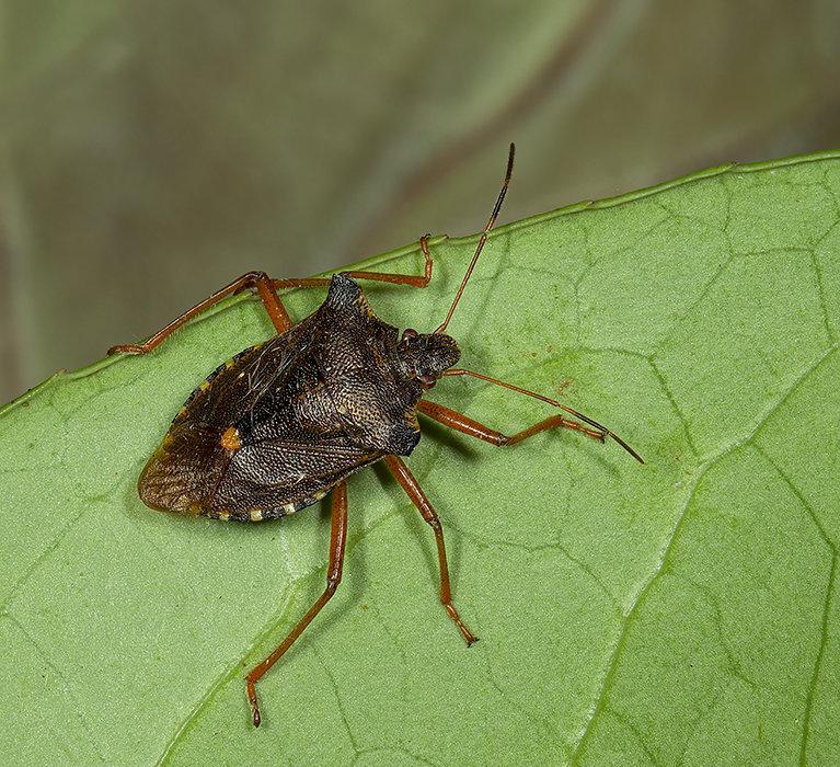 Red Legged Shieldbug - Pentatoma rufipes