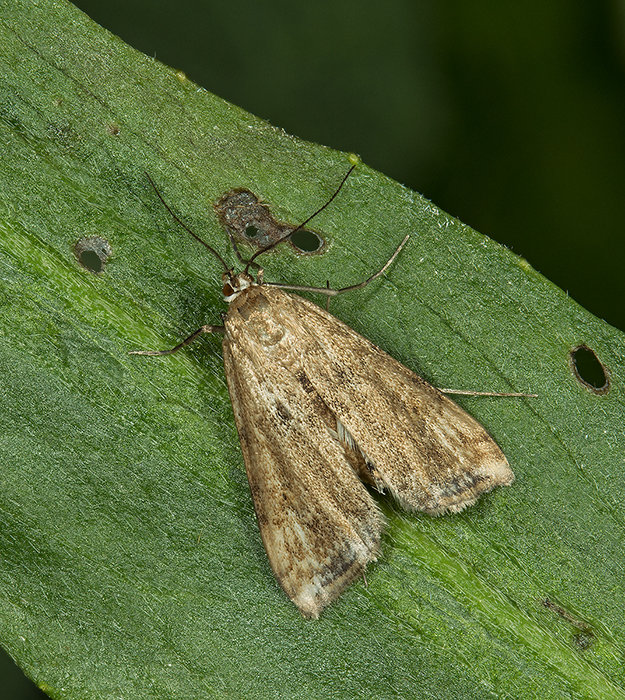 Small China Mark - Caraclysta lemnata