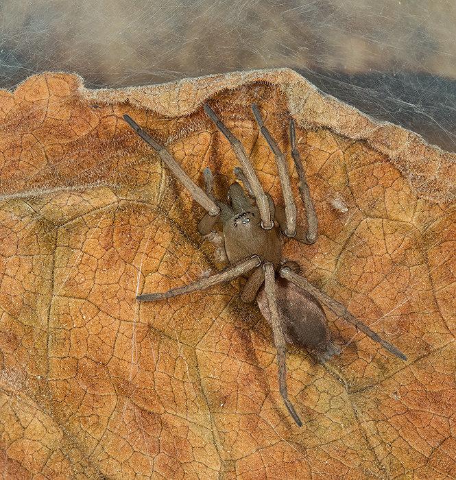 Stone Spider - Drassodes lapidosus