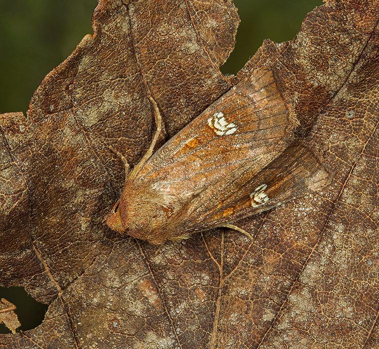 Ear moth
