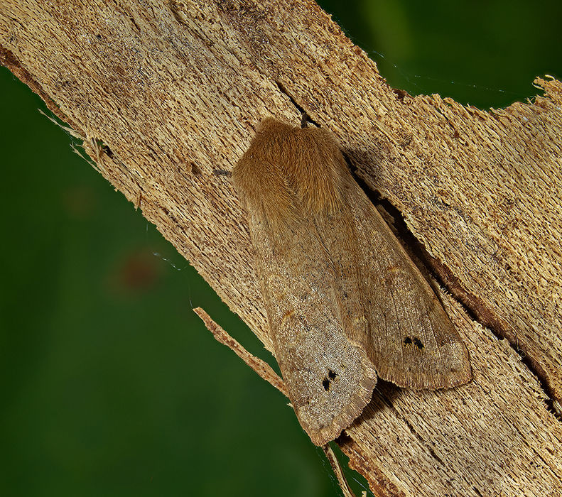 Twin-spotted quaker