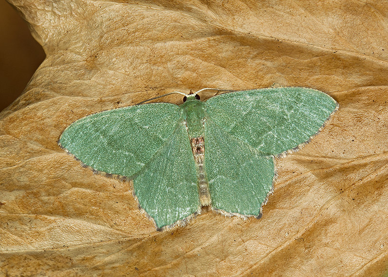Common Emerald