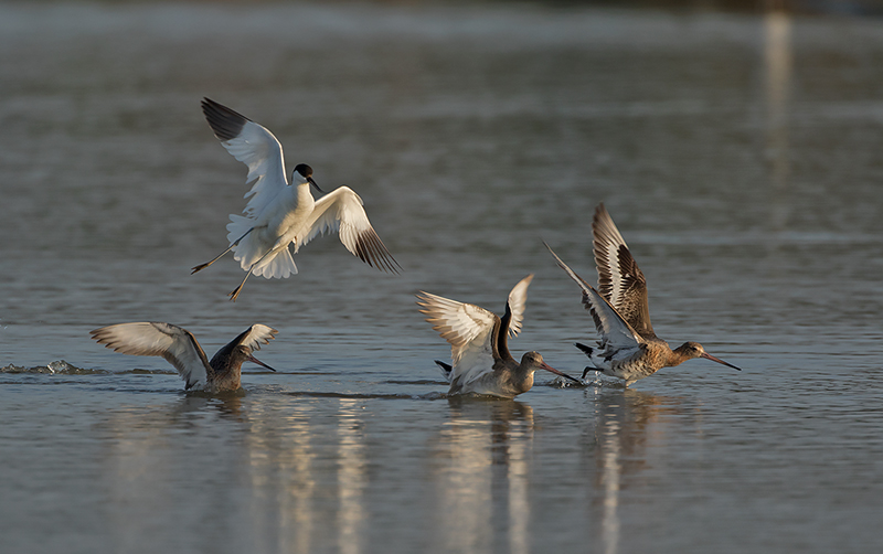 Avocet and Black Tailed Godwits