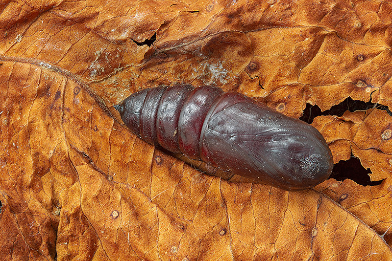 Eyed Hawk pupa