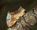 Maple Prominent