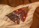 Mint moth - Pyrausta aurata